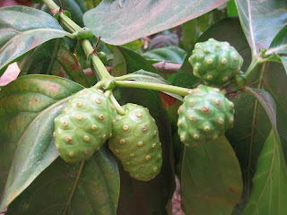 Noni fruit contains vitamin C