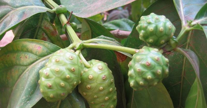about noni Noni the complete guide for consumers and growers a full-color, how-to guide  for the tropical healing plant known as noni (morinda citrifolia) by scot c.