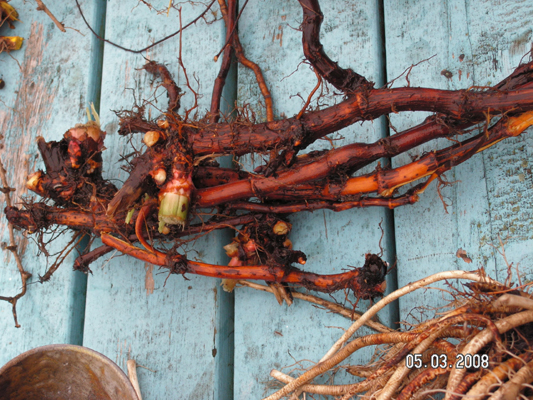 How do you kill Chinese Knotweed Permanently?