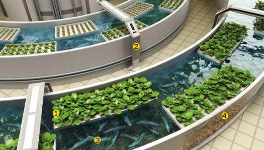 aquaponics+sistem.jpg (525×300)