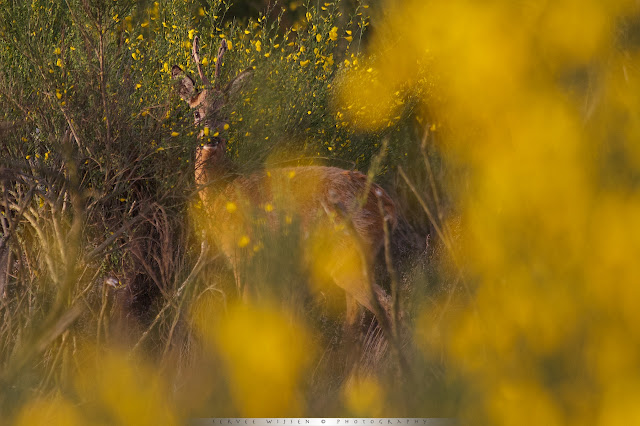Ree tussen bloeiende Brem - Roe Deer between flowering Broom bushes - Capreolus capreolus