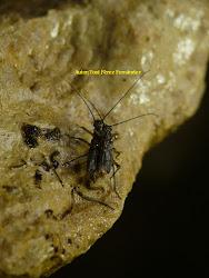 Invertebrado cavernícola jiennense de 2016 (CLICK)