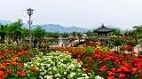 เทศกาลดอกกุหลาบที่กกซอง