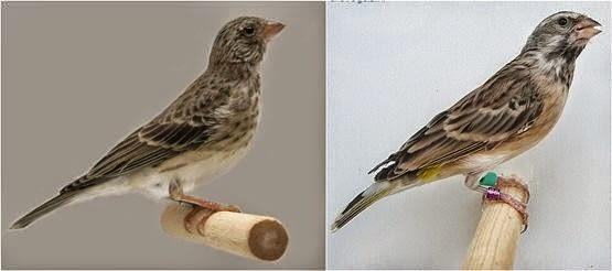 Burung Blackthroat Terbaik