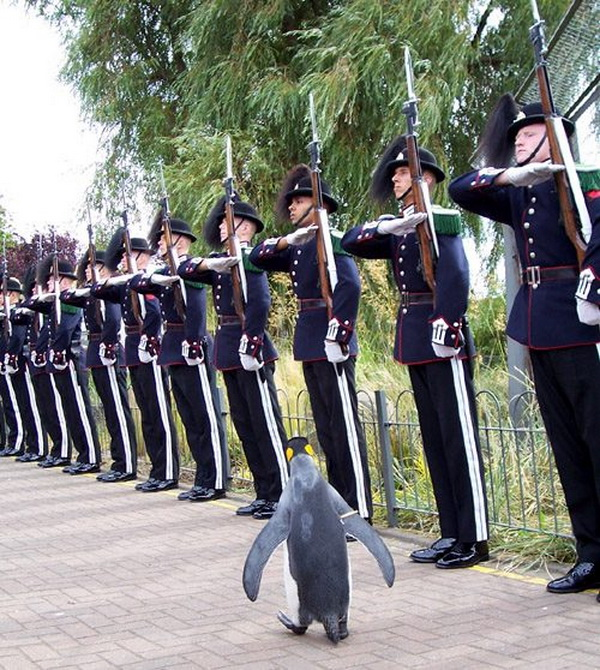 Soldiers welcome a VIP guest a penguin, funny penguin pictures, cute penguin