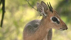 Deze bijzonder gracieuze antilope behoort tot een van de zes ondersoorten van de familie der antilopen.