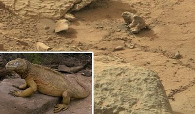 roca en forma de reptil iguana en marte