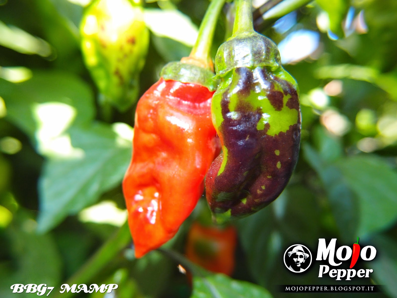how to grow purple tiger chilli