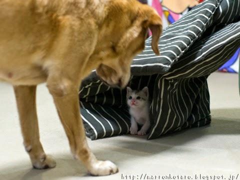 子猫と犬 初対面 dog and kitten