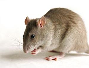 Multinotas protejiendo el jard n de animales nocivos - Odeur que les rats detestent ...