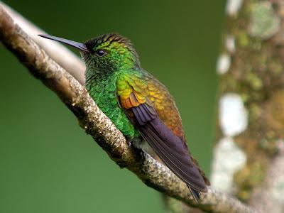 Copper Hummingbird Wallpaper