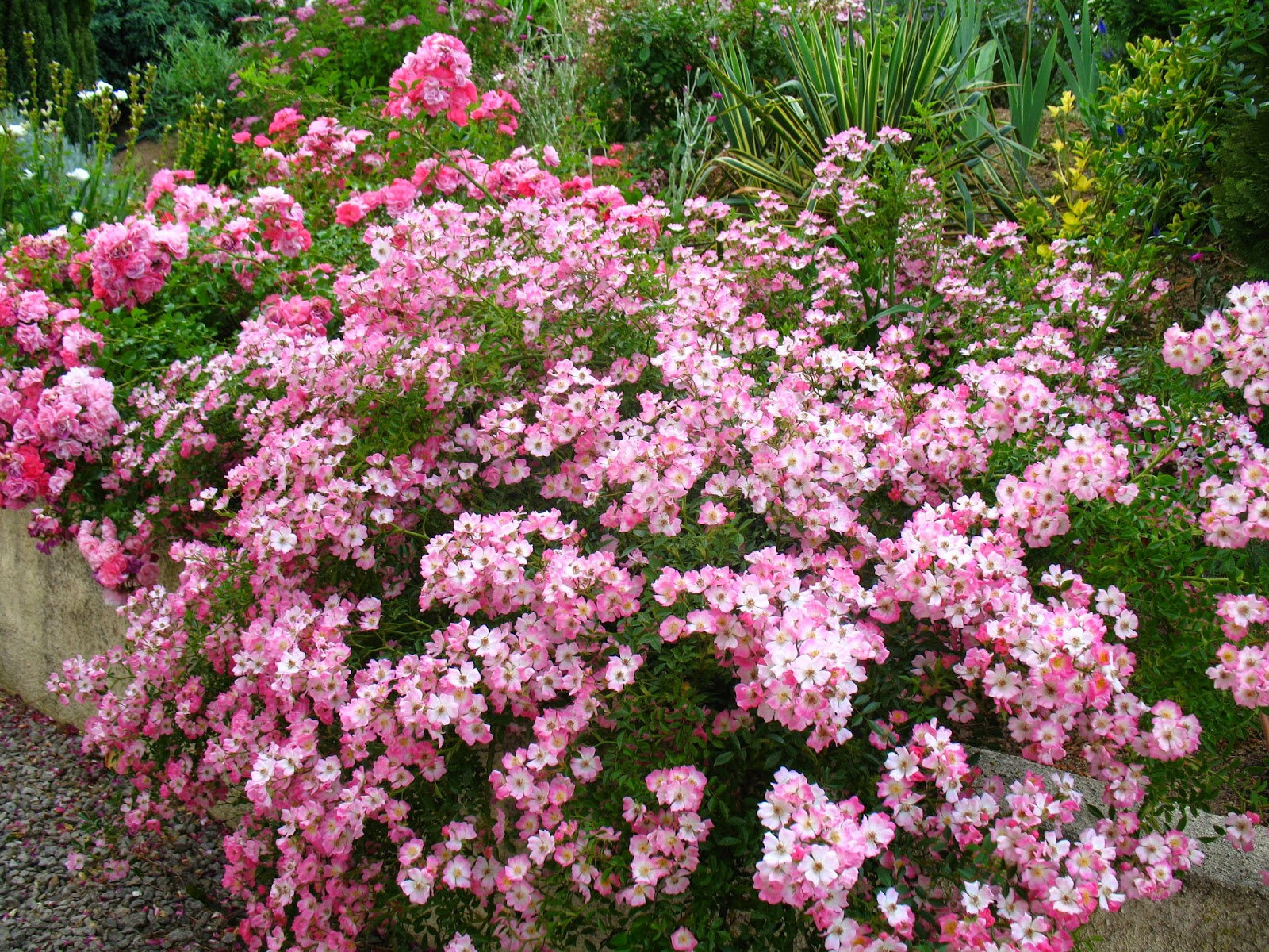 roses du jardin ch neland un rosier couvre sol g n reux. Black Bedroom Furniture Sets. Home Design Ideas