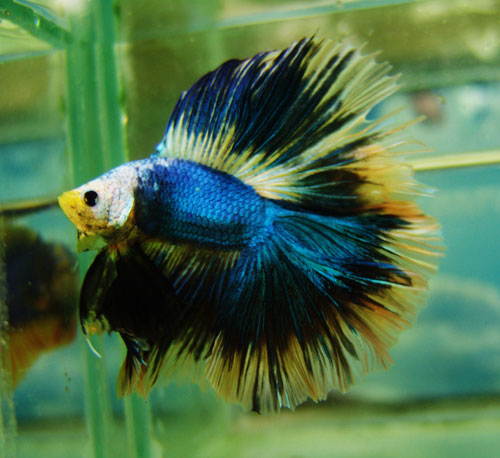 BETTA FISH PICTURES ~ P.B.T