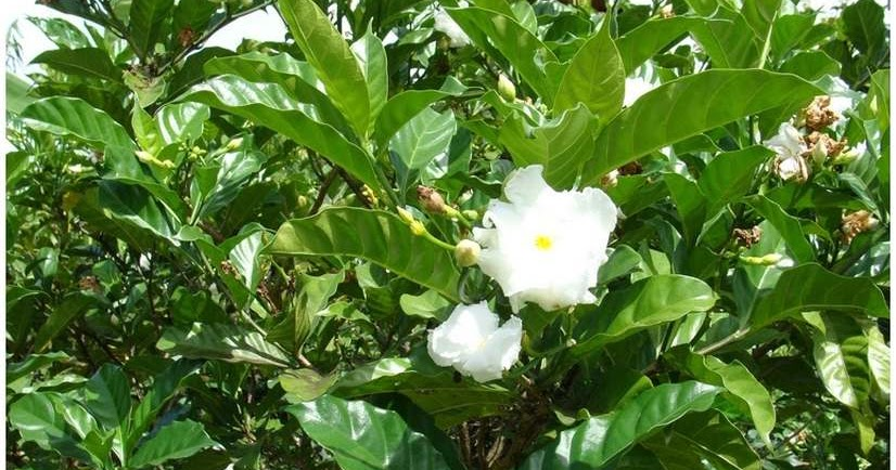 Jasmin caf jasmin fleur flore de l le de la r union for Entretien jardin reunion
