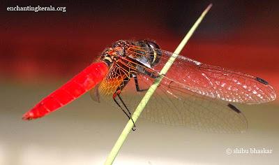 Scarlet marsh hawk dragonfly