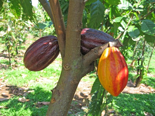 Distributor Produk Pertanian Dan Peternakan Natural Nusantara Budidaya Tanaman Coklat Kakao