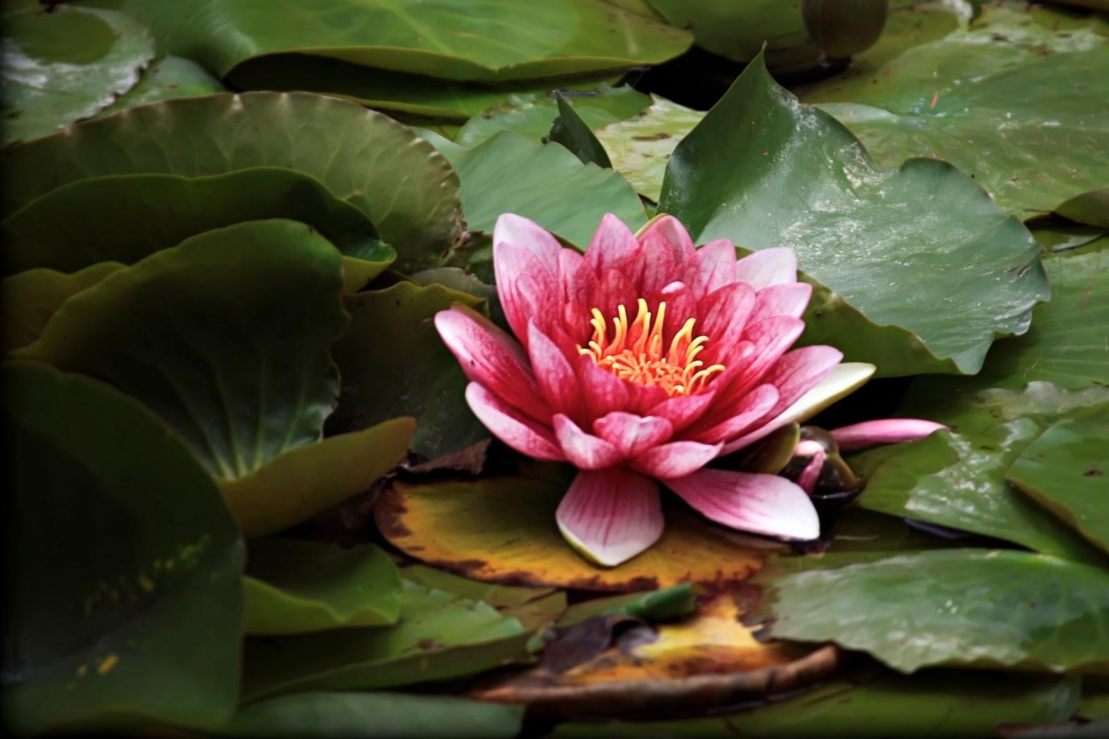 Lotus Flower HD wallpapers | HD Wallpapers (High ...