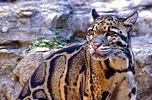 clouded leopard, animal