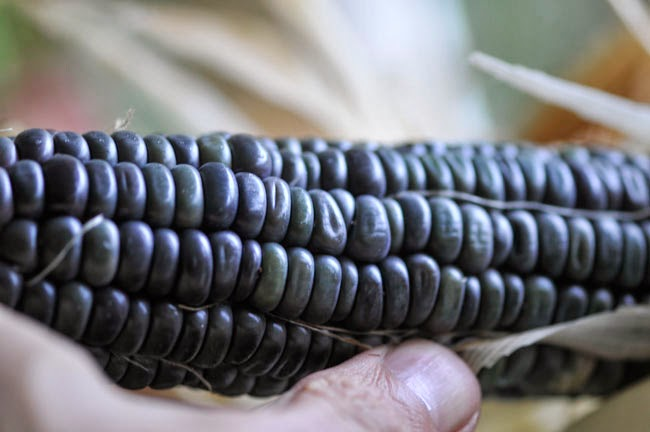 Dent Field Corn
