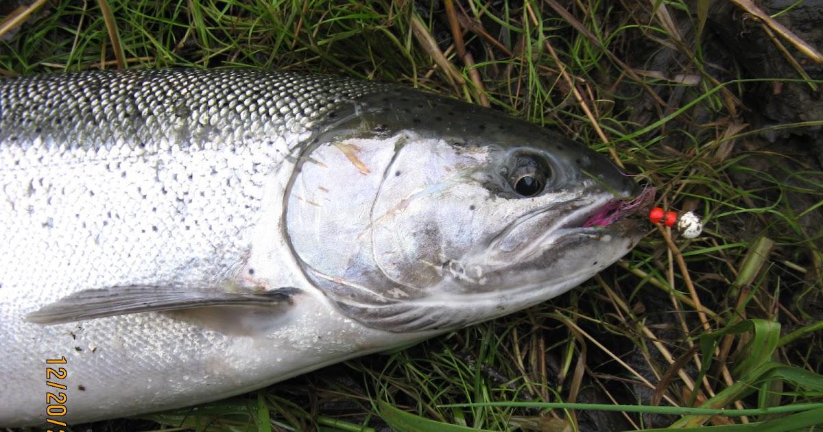 Forever fishing washington state salmon and steelhead anyone for Salmon fishing washington