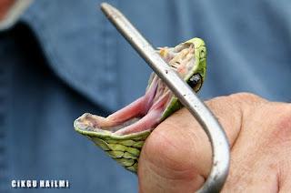 a98564 Boomslang Gambar Haiwan Paling Cantik Tapi Paling Bahaya Di Dunia