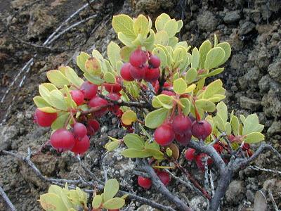 Ohelo berries, Hawaii