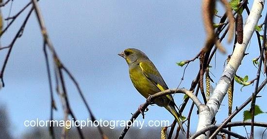 European Greenfinch - Singing Wings Aviary