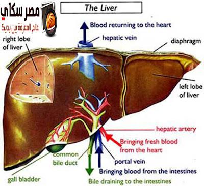 تعرف على وظائف الكبد فى جسم الأنسانLiver Functions
