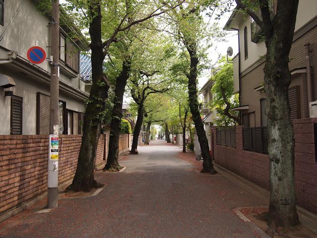 西が丘の桜並木