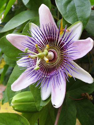 Close up of passion flower