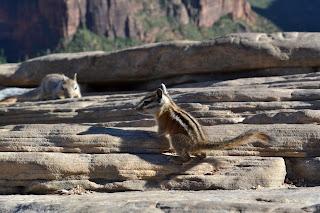 Chipmunk and squirrel atop Angel's Landing