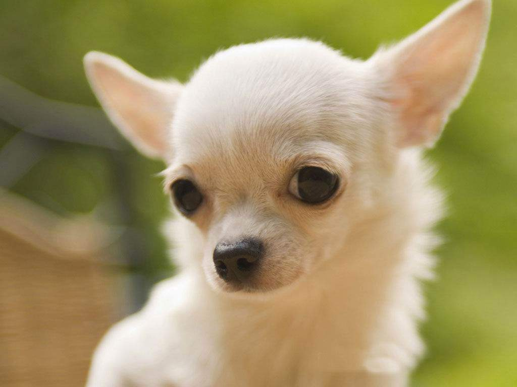 Cute white chihuahua puppy wallpapers