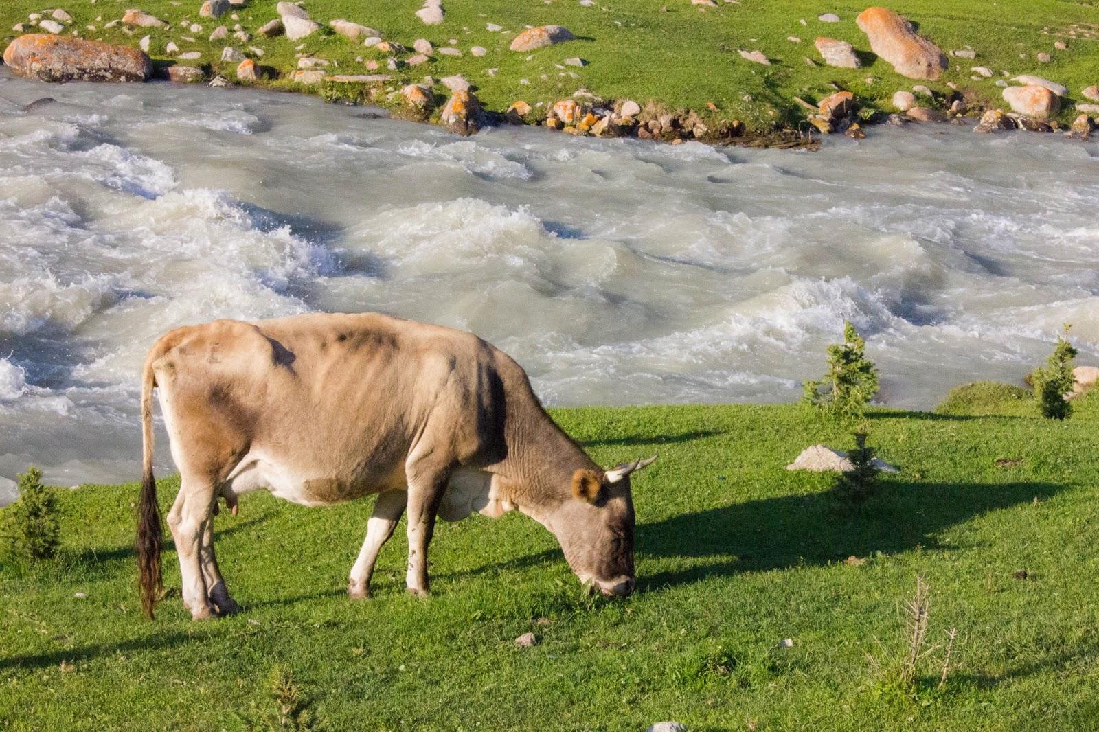 Кыргызстан, Джеты-Огуз, Иссык-Куль, корова, река