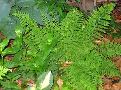 Benefits Of Male Fern (Dryopteris Filixmas) For Health