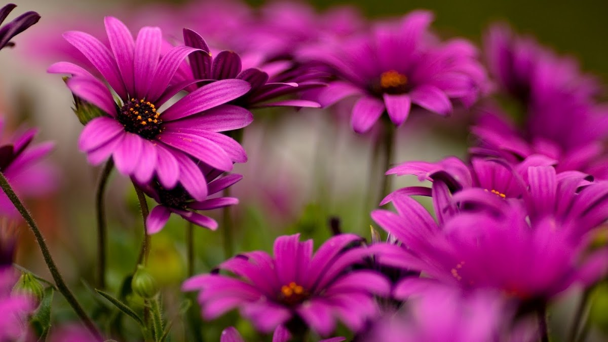 HD Flowers Wallpaper 4