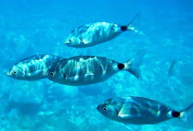 Αποτέλεσμα εικόνας για ψαρεμα μελανουρι