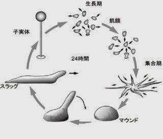 細胞性粘菌のユニークな Life Cycle