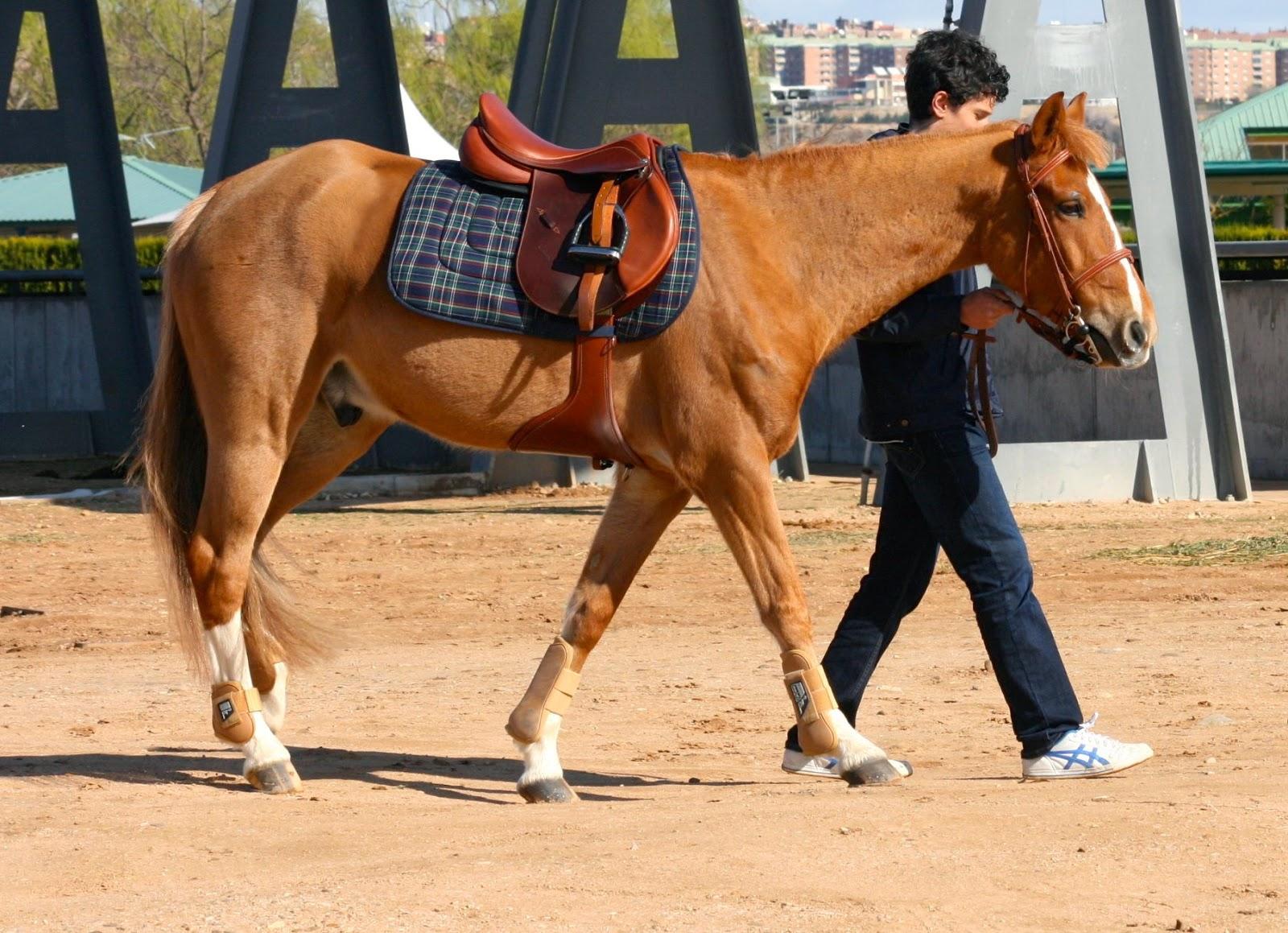 Galopejunior: La cojera en el caballo (y II)