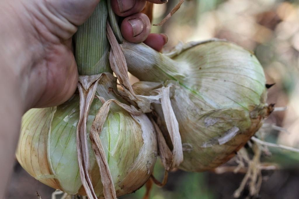 Bumper Onion Harvest