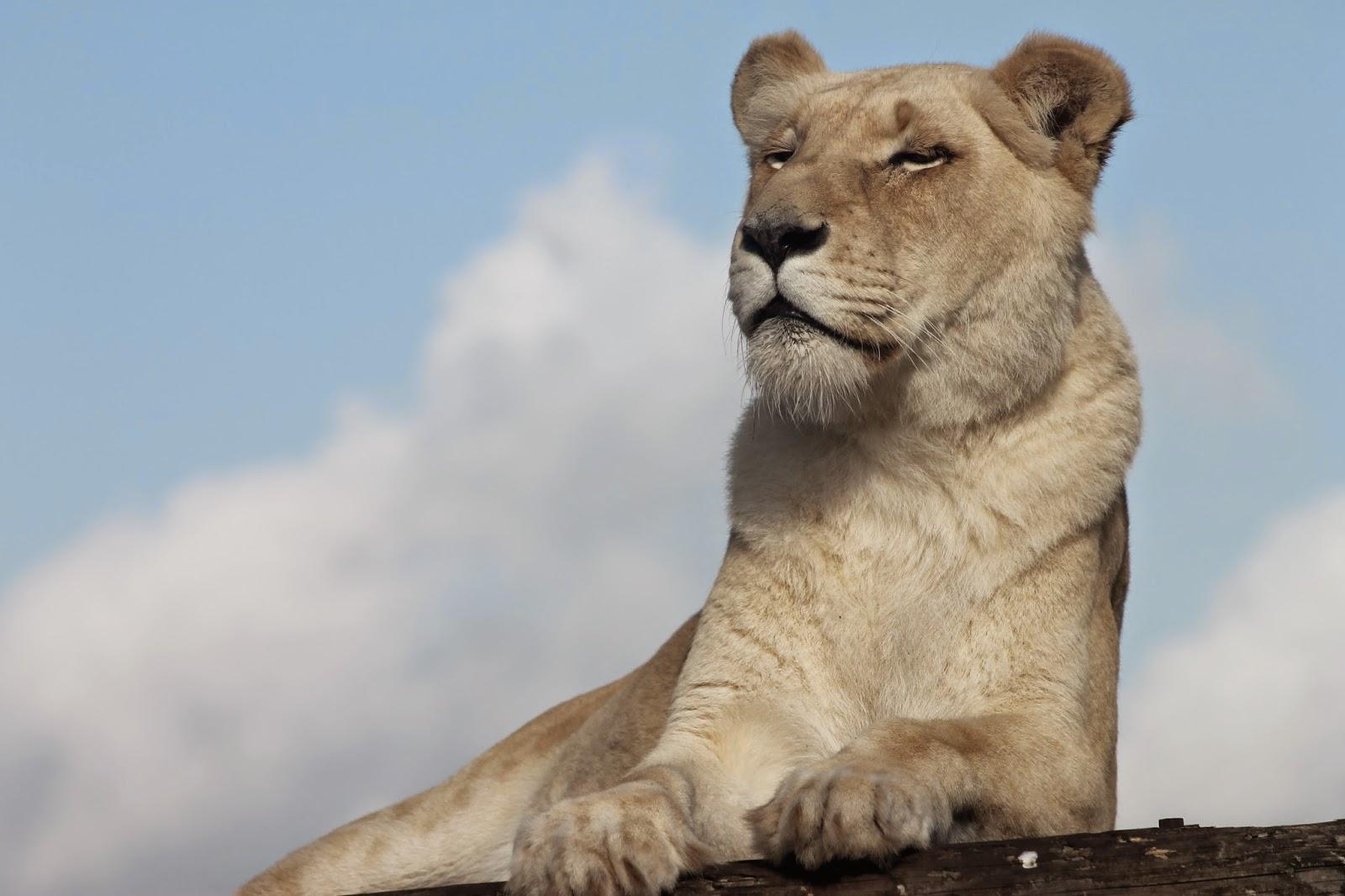 West Midlands Safari Park White Lion