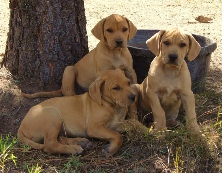 Blackmouth Cur Puppies