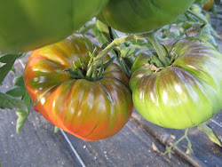 "Tomates ""Raf"""