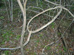 Mufumbo Árvore da Caatinga