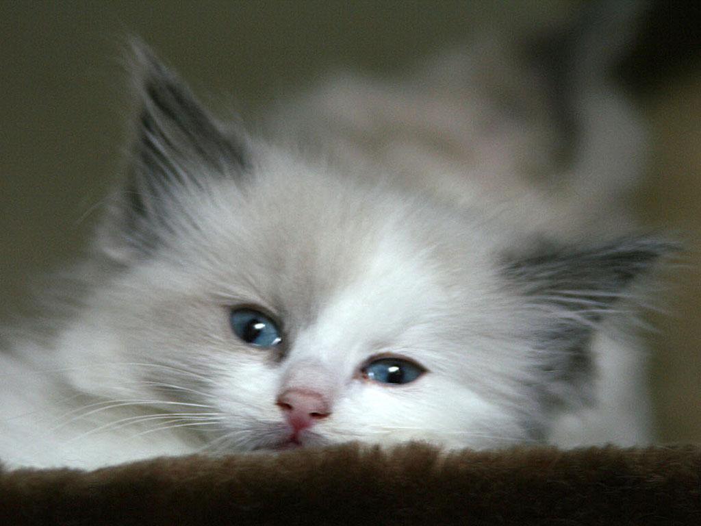 dream meaning kitten