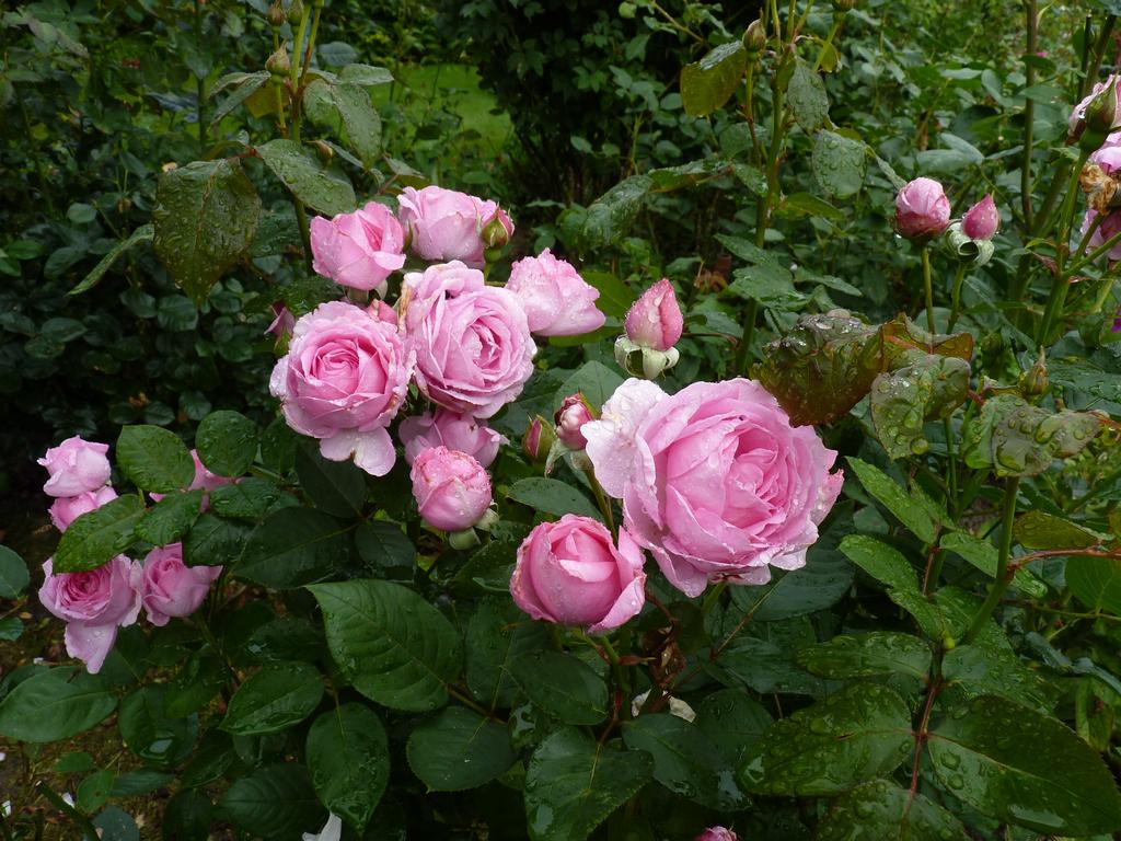 Le rose inglesi di poulsen la serie renaissance for Rose inglesi