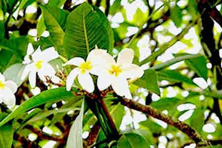 5 Manfaat Bunga Kamboja