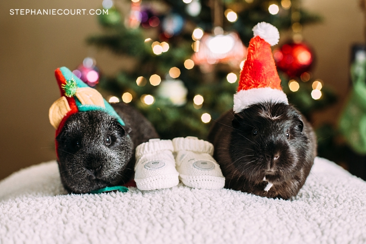 guinea pig holiday baby announcement