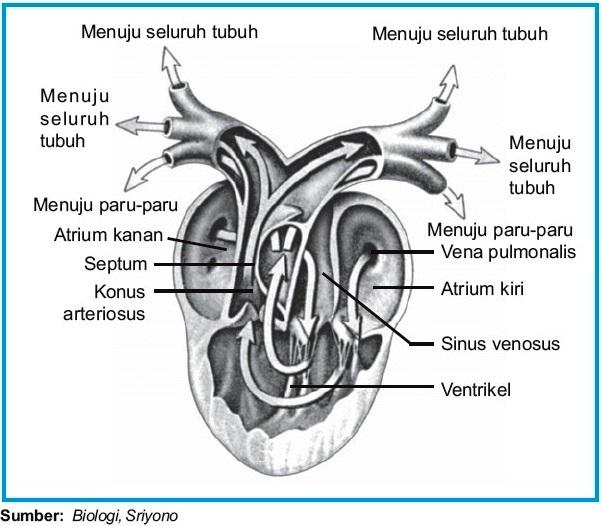 Image Result For Gambar Jantung Katak