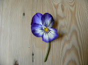 Pansy on my table