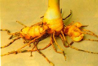 curcuma xanthoriza